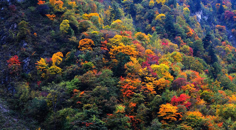 黑水的彩林红了,冰山彩林节来了