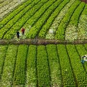 2019年12月1日,正值四川省广安市前锋区观塘现代农业园区白菜丰收时节,当地群众抓紧收割白菜