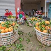 彭山黄丰:优质柑橘喜获丰收