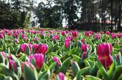 """雅西高速路的贯通,成都南下攀枝花实现了全线高速,不仅大大缩短了成都与攀枝花的行程时间,也形成了""""成都-雅安-攀枝花阳光生态旅游""""黄金旅游线。春天,这条线路上有众多赏花节点,比如石象湖的郁金香,荥经的珙桐花,九襄的梨花,五彩西昌以及""""阳光花城""""攀枝花更是不乏花儿的装扮。一路上,花儿们秀着姿色,与阳光争着春。"""