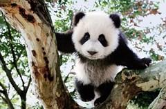 """在成都,熊猫是一位超级大明星,从城市的建筑到招牌、从人们的衣服到饰物,都不难发现""""熊猫印记"""",它们是这个城市的深刻印记和文化符号。来成都,一定要去拜访这些可爱的精灵们。"""