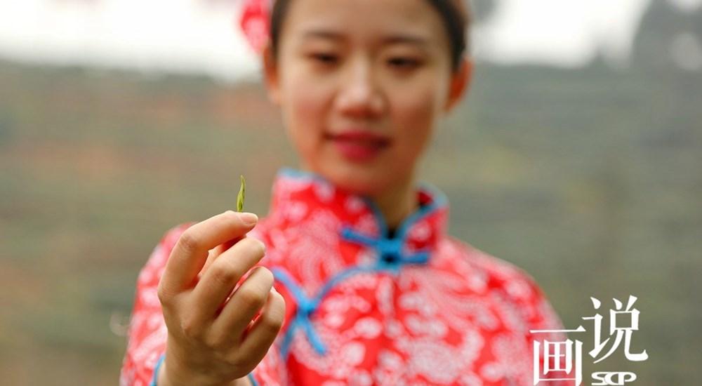 四川泸州:特早茶上市迎春