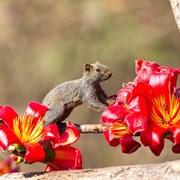 松鼠与攀枝花