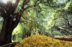 """桂花历来是诗人作家争相咏叹之物,其花小而雅、香清且远,为世人所喜爱。泸州市邻玉街道天堂村尹家沟有28棵300年树龄的桂花树,每年中秋前夕村民们都要""""打""""桂花树收桂花,这一年一度的打桂花活动,就像一个芬芳的节日,吸引了不少游客前往参观。"""