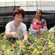 内江:中医药产业助力精准脱贫