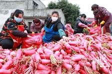 四川彭州:村民自发捐赠120吨蔬菜驰援武汉