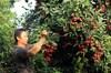 泸州:家庭农场果飘香