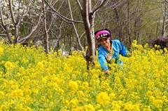 送走了冬,春天又悄然而至。 春天,有暖阳,有百花,且花花不同,花花精彩。 春天的四川,各色花儿极力地绽放着,粉的像霞,白的像云,红的像火,黄的似金,把天府大地铺成了一个锦绣大花园。