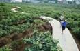 目前,威远县无花果种植规模已达5.1万亩,主要集中在贡威路新农村示范片内。