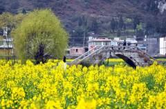 2015年3月2日,古蔺县双沙万亩油菜花竞相绽放,贵州、泸州、宜宾等地的游客陆续前来观赏。