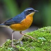 鸟类特写——栗腹歌鸲