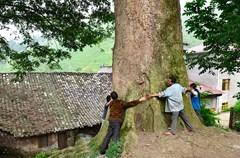 在四川省泸州市叙永县分水镇木格倒村的苗族寨子里,生长着一株十分罕见桢楠古树,树龄估计在1300年以上,可谓一大奇观。