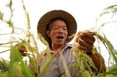 """立秋刚过,四川省华蓥山区稻谷飘香,遍地金黄。华蓥市在今春持续干旱中改变生产方式,推广抗旱新技术,采用机械化旱育苗,使全市近10万亩""""旱育秧""""水稻喜获丰收。"""