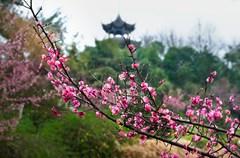 当黄色的迎春花伸出热情双手拥抱春天的时候,春天的脚步近了,花儿竞相开放的季节近了——伴随着春天的节奏,迈出轻快的步伐,一起去感受春天的气息吧。