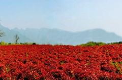 3月30日,古蔺县永乐镇西华村800余亩红叶石楠苗圃基地里农民正在辛勤的劳作,美丽的红叶石楠林成为春季一道靓丽的风景。