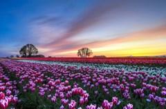 """春日的欧洲繁花似锦,在这春意盎然的美好季节,寻美,我慕名来到了""""郁金香王国""""--荷兰。我的所见所闻,特别是这里的春天的百花齐放、万花争艳,的确称得上人们所赞誉的那样:她是地球上最美丽的春天……"""