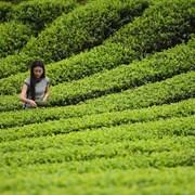 泸州叙永县红岩村生态茶园