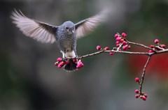 """百花潭公园离家很近,小的时候这里是动物园经常去看猴子,后来动物园搬迁到了北门昭觉寺,就很少去了。进入立春以后,听摄友说百花潭有几只小鸟长得好看,就去了。 这里的鸟儿是一个姓谭的大爷发现的,有画眉、红头山雀、四喜、斑鸠、石燕等鸟,大家称他为""""潭主""""。一有太阳,摄友们就在巴金广场边的水塘边架起了长枪短炮,等待小鸟来觅食。 俗话说""""人为财死,鸟为食亡""""。拍得多了也感觉没有新意。初三开始,发现鸟儿吃了食后还站在树枝上不走,初五就把一台相机放到觅食的地方,从上午等到下午五点过,鸟儿终于站在了相机上,抑制住心里的激动一阵猛拍。前后来了两次,回家一看还可以,用拟人的方法把鸟儿的内心表现出来,取名《小鸟也有好奇心》。"""