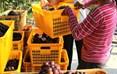 """高兴镇花庙嘴村的村民在搬运刚采摘的""""扶贫葡萄""""。"""