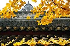 每年的秋天,总有那么一个时刻,几个太阳天一过,仿佛是接到了阳光的命令,成都这座城市就燃烧在一片金色的光焰之中。