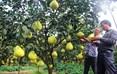 护国镇东巷口村柚子种植大户胡大强在查看柚子长势。
