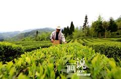 水磨镇是汶川县重要的茶叶基地,全镇茶园种植面积2700余亩,当地有1000多人以种茶为主要经济来源。